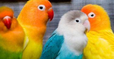 Cennet Papağanı Türleri ve Özellikleri