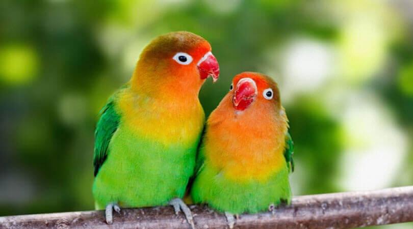 Cennet Papağanı Üretimi