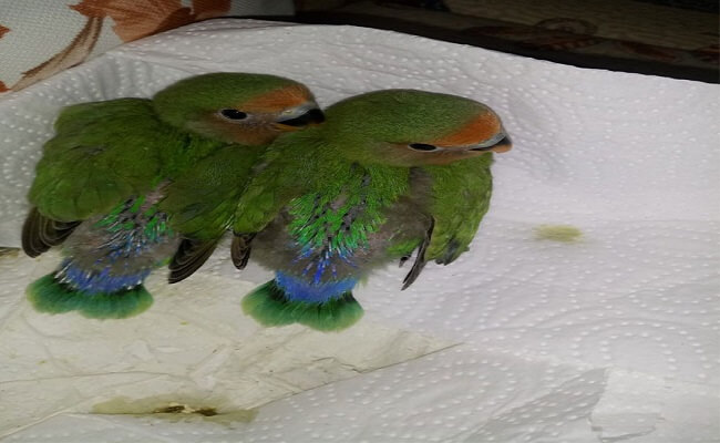 Cennet Papağanı Yavruları