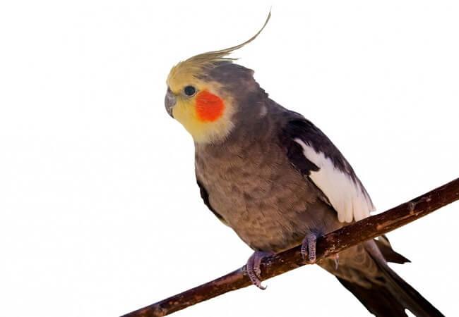 Erkek Sultan Papağanı İsimleri
