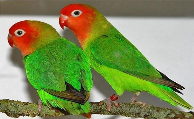 Fisher'in Cennet Papağanı