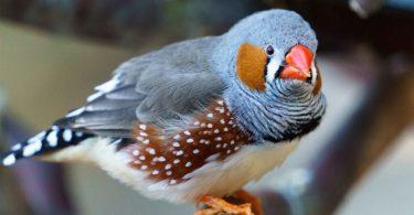 Hint Bülbülü Nasıl Bir Kuştur?