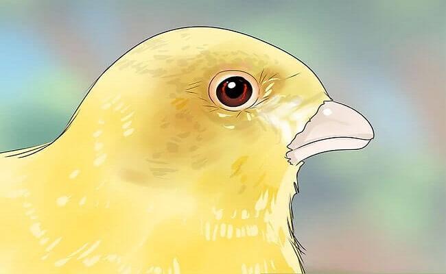 Kanarya Kuşu Soğuk Algınlığı ve Tedavisi