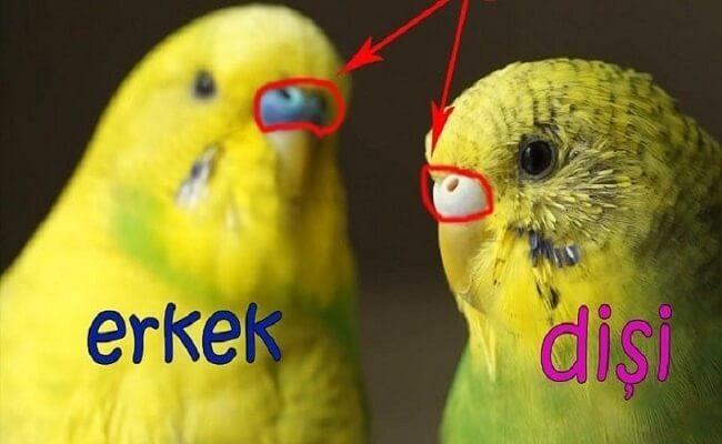 Muhabbet Kuşu Cinsiyet Ayrımları