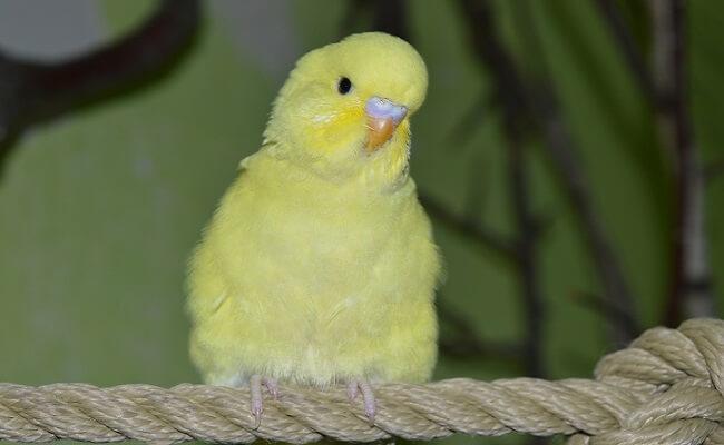Muhabbet Kuşu Genel Özellikleri