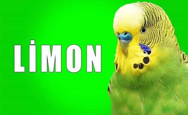 Muhabbet Kuşu Limon