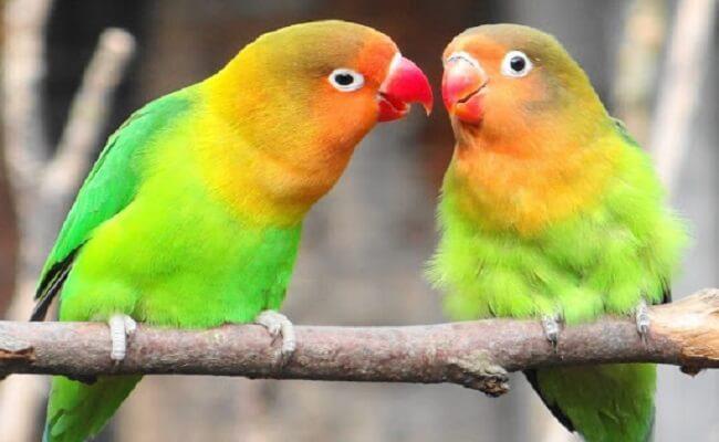 Nyasa Cennet Papağanı