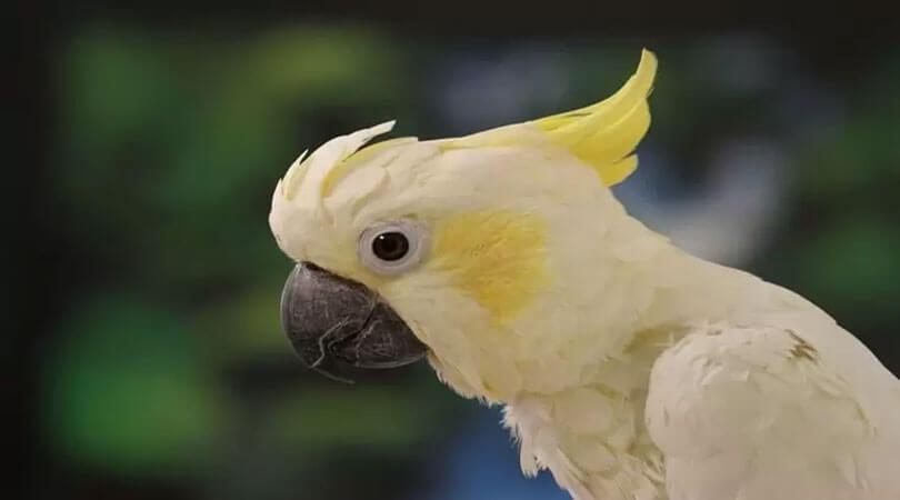 Papağan Hastalıkları ve Tedavisi