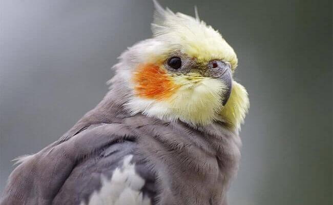 Sultan Papağanı Genel Özellikleri