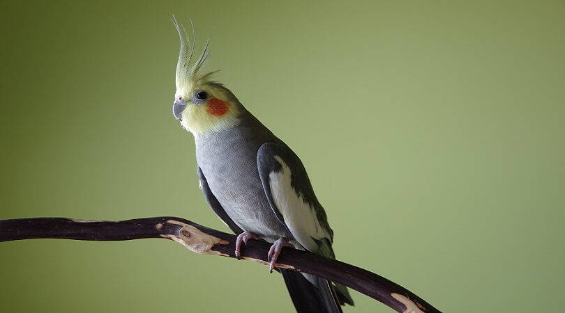 Sultan Papağanı İsimleri