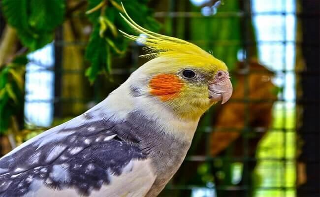 Sultan Papağanının Diğer Özellikleri