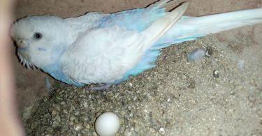 Muhabbet Kuşu Kızgınlık Yumurtası