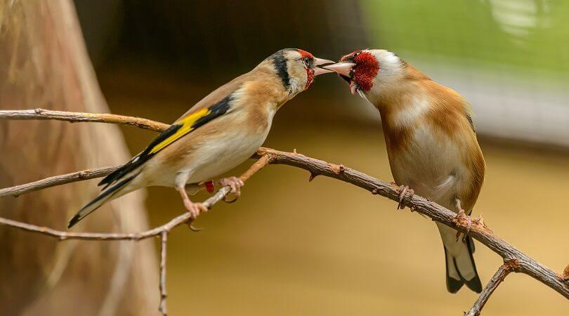 Saka Kuşu Cinsiyet Ayrımı
