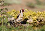 Saka Kuşu Çiftleşme Belirtileri