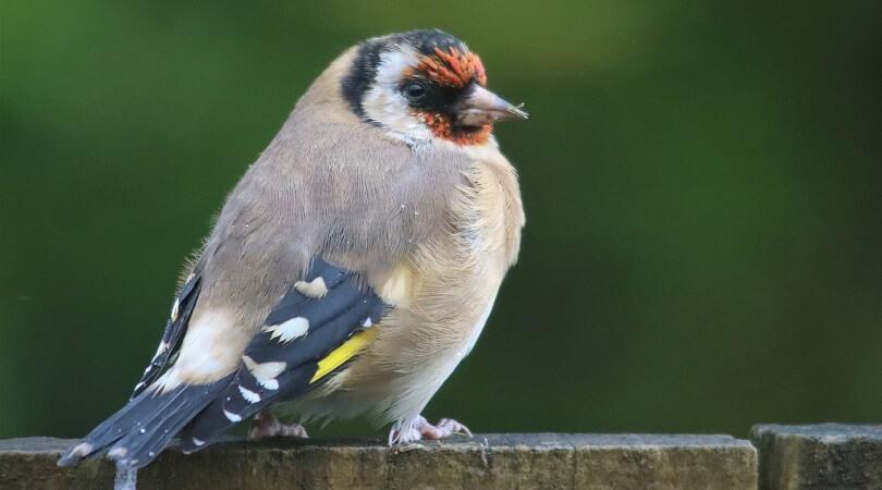 Saka Kuşu Eğitimi