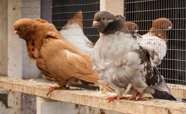 Çin Baykuşu Güvercin