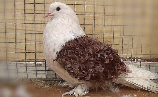 Frillback Güvercin