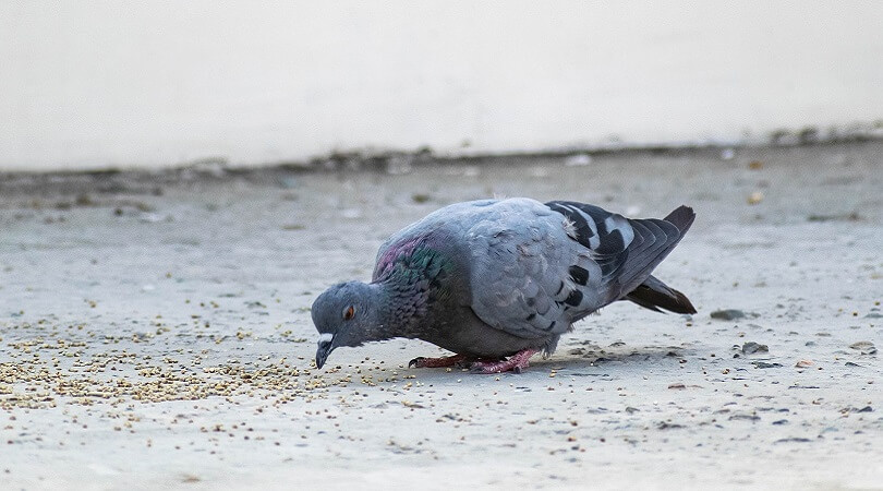 Güvercin Ne Yer?