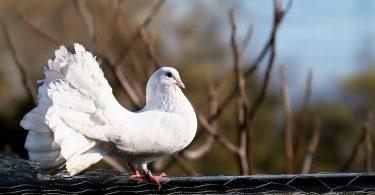 Güvercin Türleri ve Özellikleri