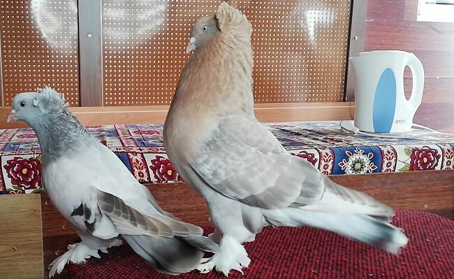 Kostüm Güvercini