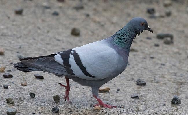 Kral Güvercin