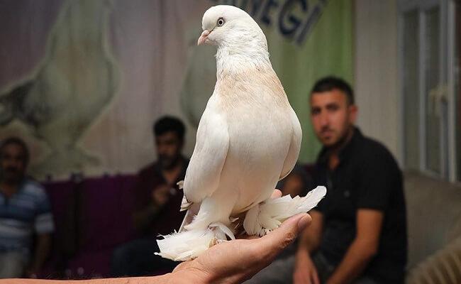 Kürenk Güvercin