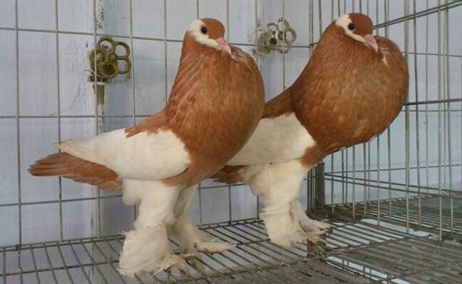 Pouter Güvercin