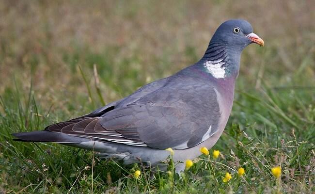 Tahtalı Güvercin