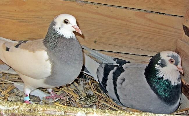 Tippler Güvercin