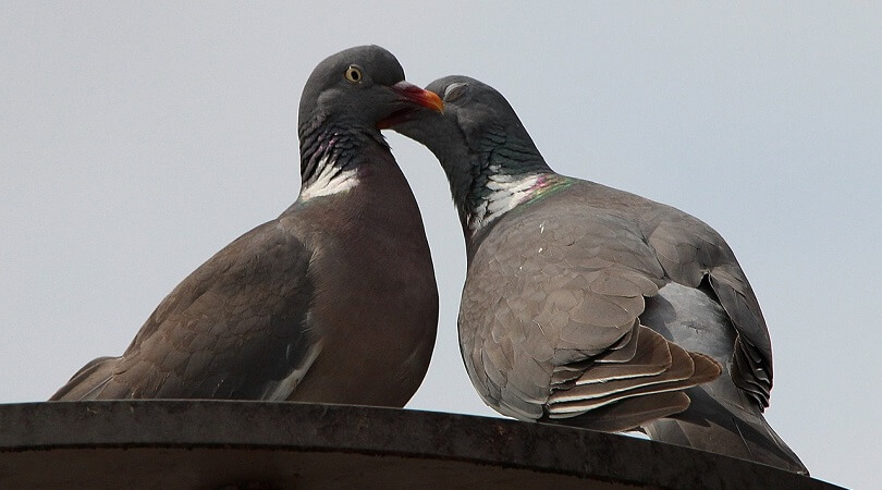 Güvercin Cinsiyet Ayrımı Nasıl Yapılır?