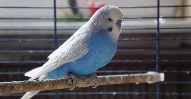 Muhabbet Kuşuna Eş Alırken Nelere Dikkat Etmeliyiz?