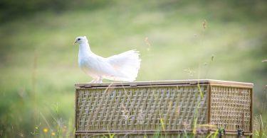 Rüyada Güvercin Görmek Ne Anlama Gelir?