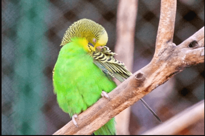 muhabbet kuşu bitleri nasıl temizlenir