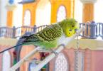 muhabbet kuşu tüy dökme sorunu