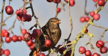 Kuşlar hangi meyveleri yer