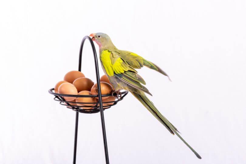 Kuşlar yumurta yer mi
