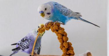 muhabbet kuşları nasıl beslenir
