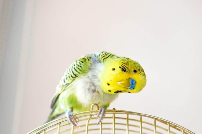 kuşlar nasıl evcilleştirilir