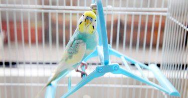 kuş ceresi nedir