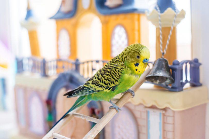 muhabbet kuşuna neler öğretebilirim