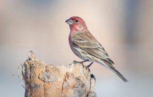 evcil popüler kuş türleri