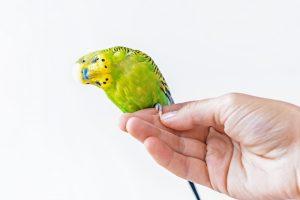 muhabbet kuşuna parmağa konmayı öğretmek