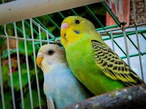 dünyadaki en popüler olan evcil kuş türleri