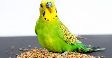 evcil kuş beslenmesi