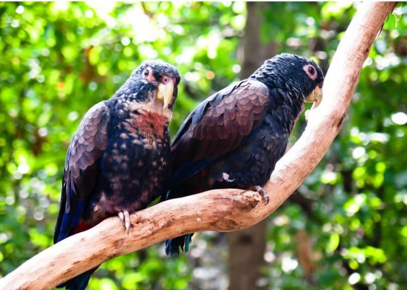 Bronz Kanatlı Pionus papağanı