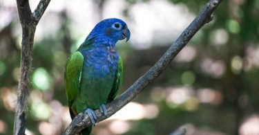 Mavi Başlı Papağan