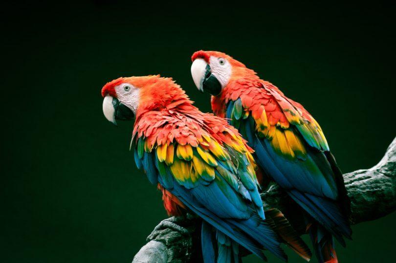 Papağan Nasıl Beslenir