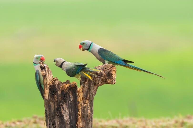 Papağanlar ve Muhabbet Kuşları Arasındaki Farklar