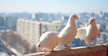 Posta Yoluyla Evcil Kuş Göndermek
