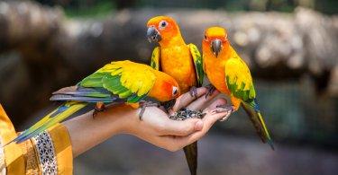 güneş konur papağanı özellikleri
